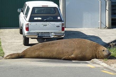 440px-Momoa_Southern_Elephant_Seal_-_Whakatane.jpg