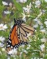 Monarch (Danaus plexippus) - Killarney, Ontario 01.jpg