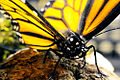 Monarch Butterfly Taxidermy 06.jpg