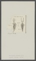 Monoculus claviger - - Print - Iconographia Zoologica - Special Collections University of Amsterdam - UBAINV0274 100 01 0034.tif