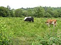More cows at Oghill - geograph.org.uk - 466903.jpg