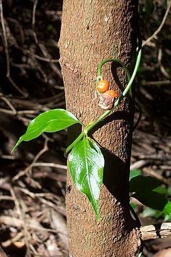 Morinda jasminoides on Lilly Pilly.jpg