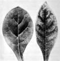 Mosaic and streak viruses of the potato (IA mosaicstreakviru00macl) p28 Fig. 21.png