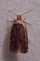 Moth (Lepidoptera) - Kitchener, Ontario.jpg