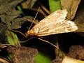 Moth in compost pile (15756993057).jpg