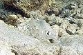 Mottled mojarra Eucinostomus lefroyi (4686629810).jpg