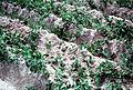 Mt st helens ash pea field grant co wa.jpg