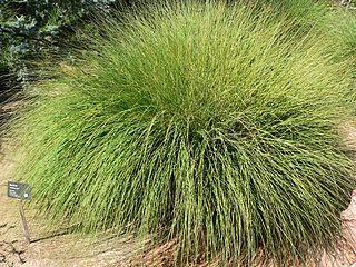 <i>Muhlenbergia rigens</i> Species of plant