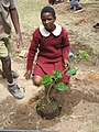 Mulberry tree planted in a soil with a compost mix (5567538912).jpg