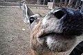 Mule Deer (Odocoileus hemionus) sniff.jpg