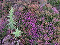 Multicoloured Heather - geograph.org.uk - 222068.jpg