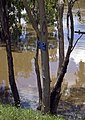 Murrumbidgee River in flood and historic maker showing the '74 flood.jpg