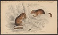 Muscardinus avellanarius - 1700-1880 - Print - Iconographia Zoologica - Special Collections University of Amsterdam - UBA01 IZ20400177.tif