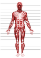 Muscular system.png
