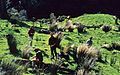Mustering at Tangarakau, Taranaki, 1968 - Flickr - PhillipC.jpg