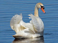 Mute Swan Cape May RWD.jpg