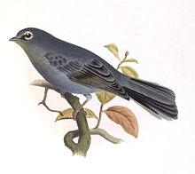 灰孤鶇(圖片來源:Wikimedia)