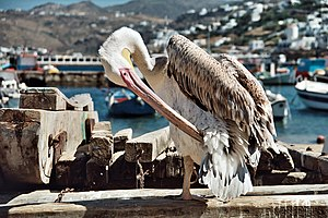 Petros (pelican) - Petros (the second)