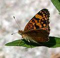 Mylitta Crescent - Phyciodes mylitta thebais. Melitaeinae - Flickr - gailhampshire.jpg