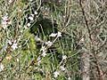 Myoporum turbinatum.jpg