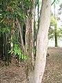 Myrciaria cauliflora - Jardim Botânico de São Paulo - IMG 0392.jpg