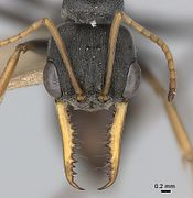 Myrmecia pilosula specimen mandibles