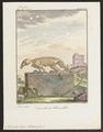 Myrmecophaga didactyla - skelet - 1700-1880 - Print - Iconographia Zoologica - Special Collections University of Amsterdam - UBA01 IZ21000049.tif