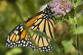 NKN-2007-08-20 115940 Monarch Butterfly (Yvan Leduc author for Wikipedia).jpg