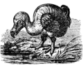 NSRW Dodo.png
