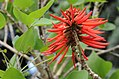 Naked Coral Tree - Erythrina coralloides 03.JPG