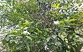 Nandibattalu.( Crape jasmine). flowering plant.jpg