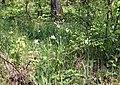 Narcissus augustifolius.JPG