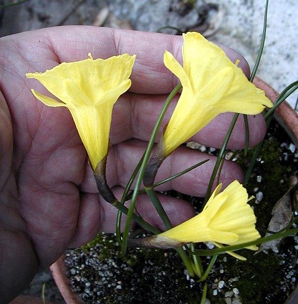 File:Narcissus blancoi.jpg