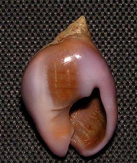 <i>Tritia gibbosula</i> Species of gastropod