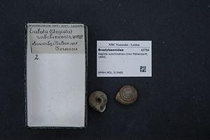 Aegista subchinensis - Aegista subchinensis shell