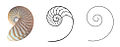 Nautilus Section cut Logarithmic spiral.jpg