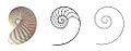 Nautilus Section cut Logarithmic spiral.jpg