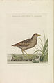 Nederlandsche vogelen (KB) - Porzana porzana (voor263).jpg