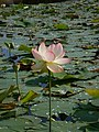 Nelumbo nucifera – Arboretum Ellerhoop 13.jpg