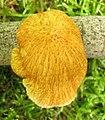 Neofavolus alveolaris (DC.) Sotome & T. Hatt 256699.jpg