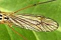 Nephrotoma.quadrifaria.wing.detail.jpg