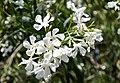 Nerium Oleander flowers, hardy white.jpg