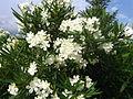 Nerium oleander 2843.JPG