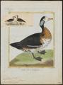 Nettapus auritus - 1700-1880 - Print - Iconographia Zoologica - Special Collections University of Amsterdam - UBA01 IZ17600209.tif