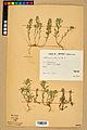 Neuchâtel Herbarium - Alyssum alyssoides - NEU000021917.jpg