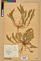 Neuchâtel Herbarium - Alyssum alyssoides - NEU000021960.jpg