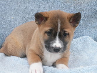 New Guinea singing dog - Male New Guinea singing dog puppy born in Autumn of 2010