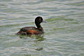 New Zealand Scaup (Aythya novaeseelandiae).jpg