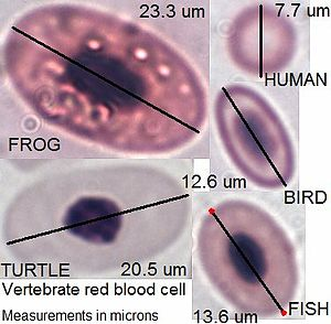 Blood - Vertebrate red blood cell types, measurements in micrometers