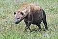 Ngorongoro 2012 05 30 2561 (7500988746).jpg
